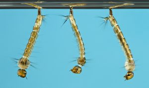 aedes larva