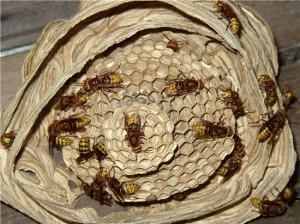 nido di vespe in dettaglio