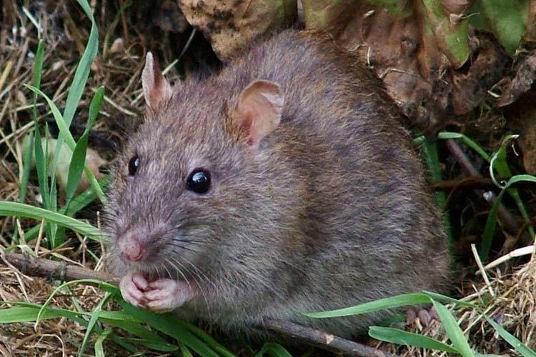 derattizzazione ratti