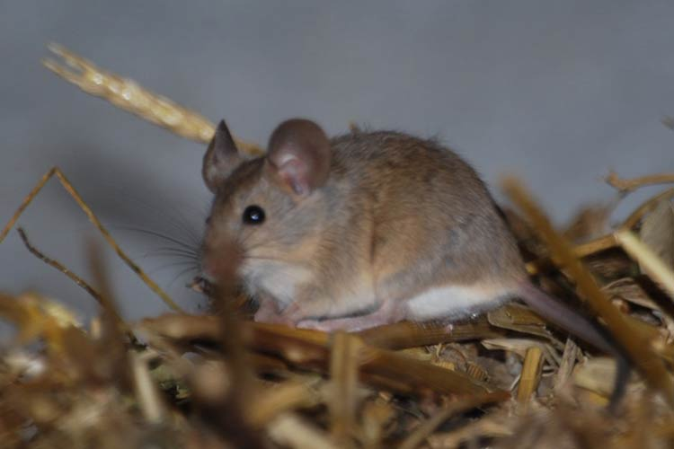 disinfestazione topolini di campagna