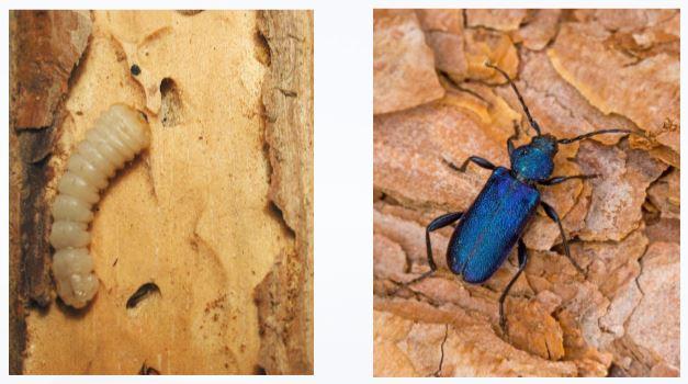 tarlo del legno disinfestazione