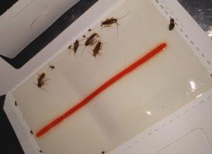 sistema di monitoraggio infestazioni da blatte