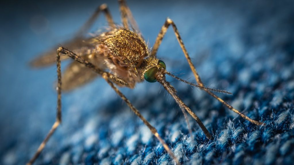 zanzara e il fungo Metarhizium pingshaense