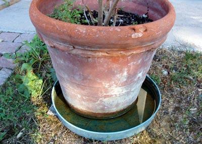 Ovodeposizione della zanzara in vasi con acqua stagnante
