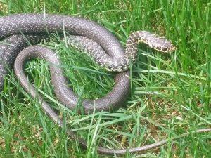 Ofidi, serpente