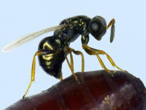 lotta biologica mosche