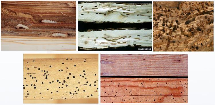danni dei tarli del legno
