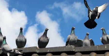 Rischi e gestione infestazioni da piccioni