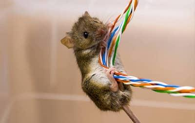 Topi rosicchiano fili elettrici